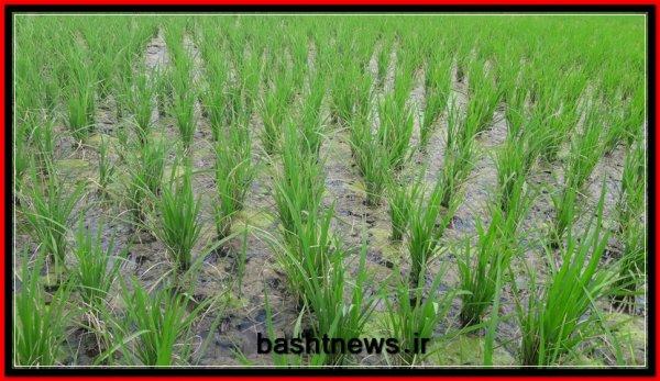 کاشت برنج, زمین کشاورزی, باشت, یاسوج 24